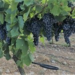 winery-troja-16