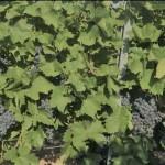 winery-troja-18